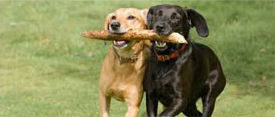 Dogs playing together with a stick